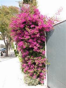 Introduction to Bougainvillea - Dave's Garden