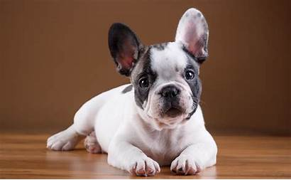 Bulldog Buldog Francuski Bulldogs French Szczeniak Frances