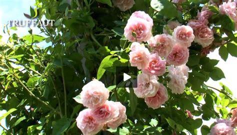 comment tailler un rosier selon sa vari 233 t 233 jardinerie truffaut conseils rosiers truffaut