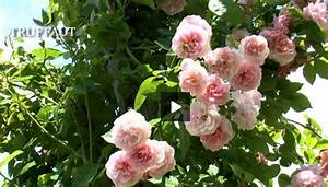 Rosier Grimpant Remontant : comment tailler un rosier selon sa vari t jardinerie ~ Melissatoandfro.com Idées de Décoration