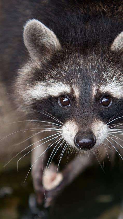 wallpaper raccoon eyes  fur close  nature