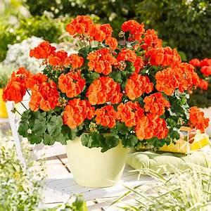 Immergrüne Pflanzen Für Balkonkasten : g rtner p tschkes orangen geranie online kaufen bei g rtner p tschke ~ Markanthonyermac.com Haus und Dekorationen