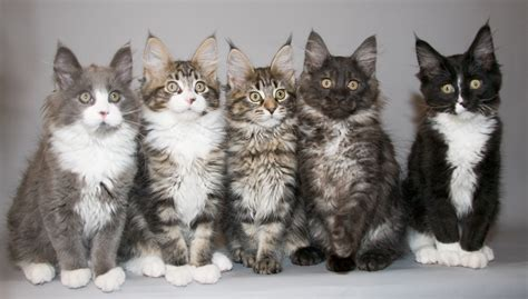 beautiful main coon kitten pictures