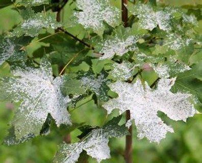 rid  white fuzzy fungus  plants powdery