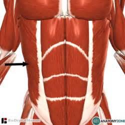 External Abdominal Oblique Muscle