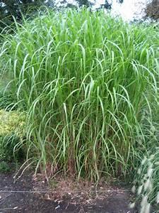 Sichtschutz Bambus Pflanze : schilf pflanzen als sichtschutz tolle bambus sichtschutz fenster sichtschutz ~ Sanjose-hotels-ca.com Haus und Dekorationen