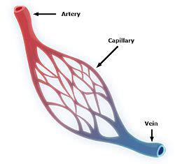 capillary wikipedia