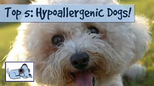 hypoallergenic dogs list the best dog breeds for people