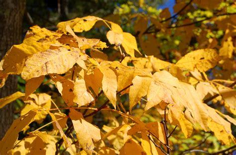shagbark hickory trees grown     nuts