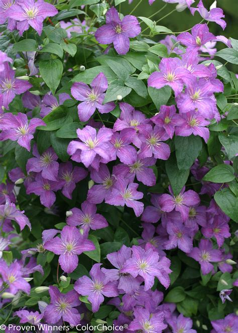 Jolly Good™  Clematis Sp  Proven Winners