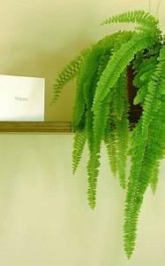 Pflanze Für Dunkle Räume : zimmerpflanzen f r dunkle r ume frauenhaarfarn ~ A.2002-acura-tl-radio.info Haus und Dekorationen