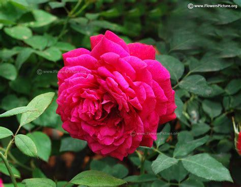 color fuchsia fuchsia and magenta color flowers