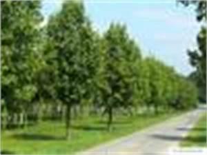 Linde Baum Steckbrief : holl ndische linde tilia x europaea ~ Orissabook.com Haus und Dekorationen