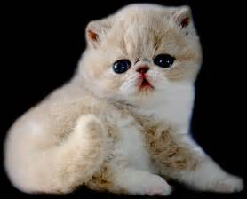 cat world top 7 most popular cats in the world most interesting facts