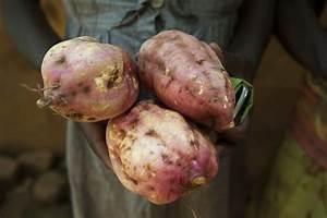 In Kenya, so much depends on the orange flesh sweet potato ...