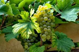 Achat Pied De Vigne Raisin De Table : vin raisins raisin photo gratuite sur pixabay ~ Nature-et-papiers.com Idées de Décoration