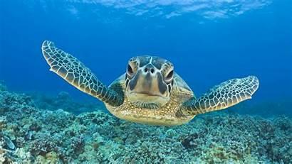 Turtle Underwater Swimming Animal Turtles Desktop Wallpapers