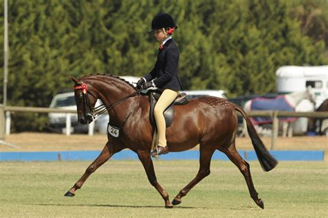 pony riding australian horse breed hunter ponies horses young equestrian hunting hack