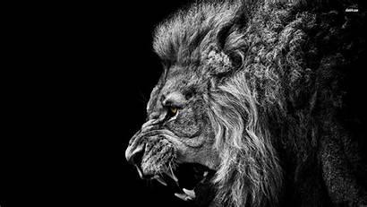 Lion Roaring Wallpapers Animal