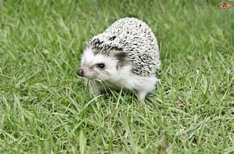 pygmy hedgehog african pygmy hedgehogs algerian pictures