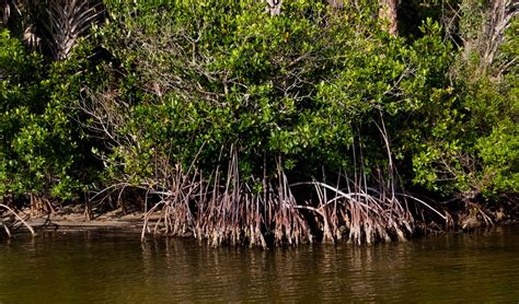 Mangroves • Marine Discovery Center