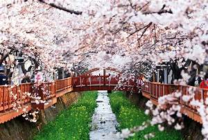 The Cherry Blossom Festival – Korea's Top Three Sites ...