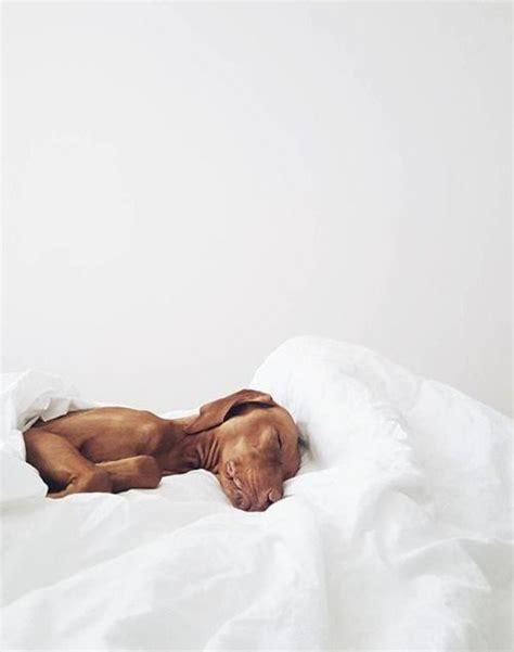 vizsla images  pinterest doggies dogs  pets