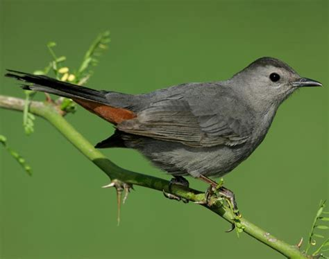gray catbird songs and calls larkwire