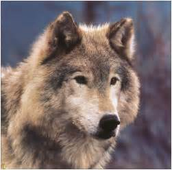 fond d cran loups photos fond ecran loups photos wallpaper loups photos wallpapers loups