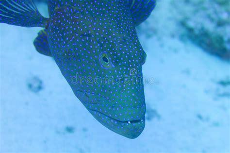 grouper della cernia fish reef rosso vicino ship scogliera pesce wreck swimming near sea portrait close nuota relitto nave mar