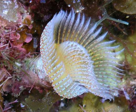 worm horseshoe star serpulidae stellatus reef geoffschultz