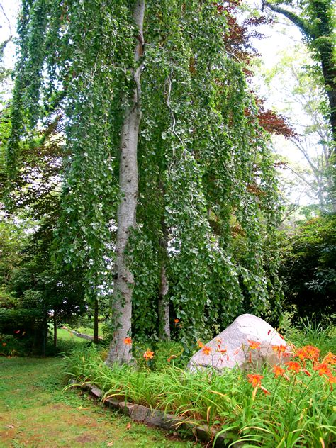 weeping mulberry tree care a weeping mulberry tree gardens and parks pinterest trees mulberry tree and as