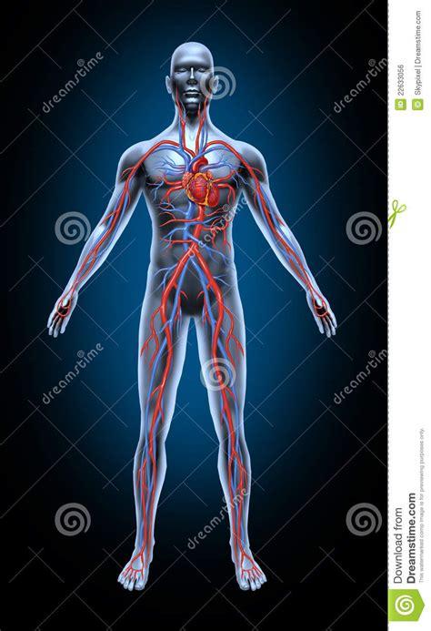 血液循环人 库存例证. 插画 包括有 传记, 的闪烁, 循环, 肌肉, 绘制, 活动, 重点, 医学, 动脉 ...