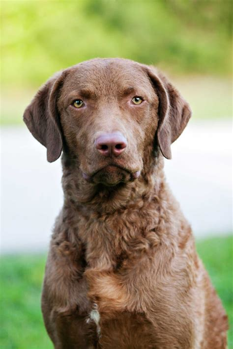 chesapeake bay retriever dog breed