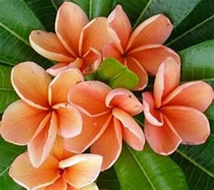 Image Gallery orange plumeria