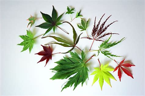 types of maple leaves with pictures landscaping garden zone 8 liboks