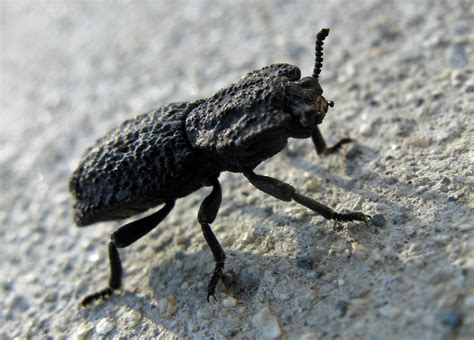 mokka mit schlag diabolical ironclad beetle