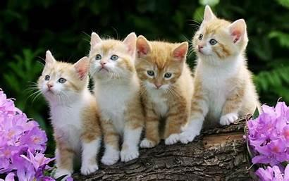 Cat Cats Pets Keep Pet Breeds Wallpapers