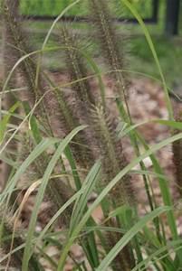 Lampenputzergras Im Kübel : lampenputzergras pennisetum alopecuroides hameln 39 pflanzen enzyklop die ~ Yasmunasinghe.com Haus und Dekorationen