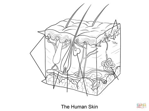Coloring Skin by Human Skin Coloring Page Free Printable Coloring Pages