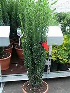 Immergrüne Winterharte Kübelpflanzen : fragen bilder pflanz und pflegeanleitungen rund um das ~ Michelbontemps.com Haus und Dekorationen