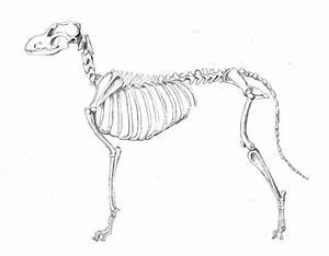 Complete Ossified Skeleton Of A Dog Post Growth Plate