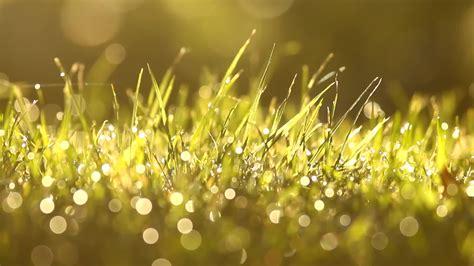 fresh green grass close    morning dew drops