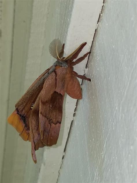 large moth florida