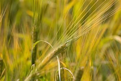 Barley Grain Focus Plant Selective Climate Change