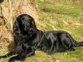 flat coated retriever strong and working retriever dogs planetanimalzone