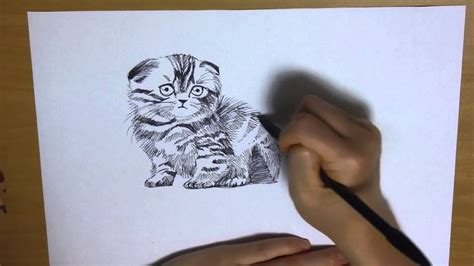 drawing  cat scottish fold  scratch  color