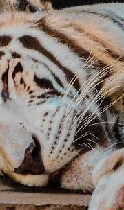 Free Images : white, lion, mammal, vertebrate, bengal ...