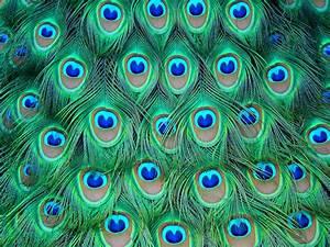 Peacock, Art, Design, 41, Hd, Wallpapers, Hd, Wallpapers