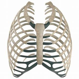 3d sternum ribs